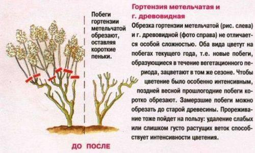 Уход и подготовка гортензий к зиме: время обрезки осенью, как зимует растение