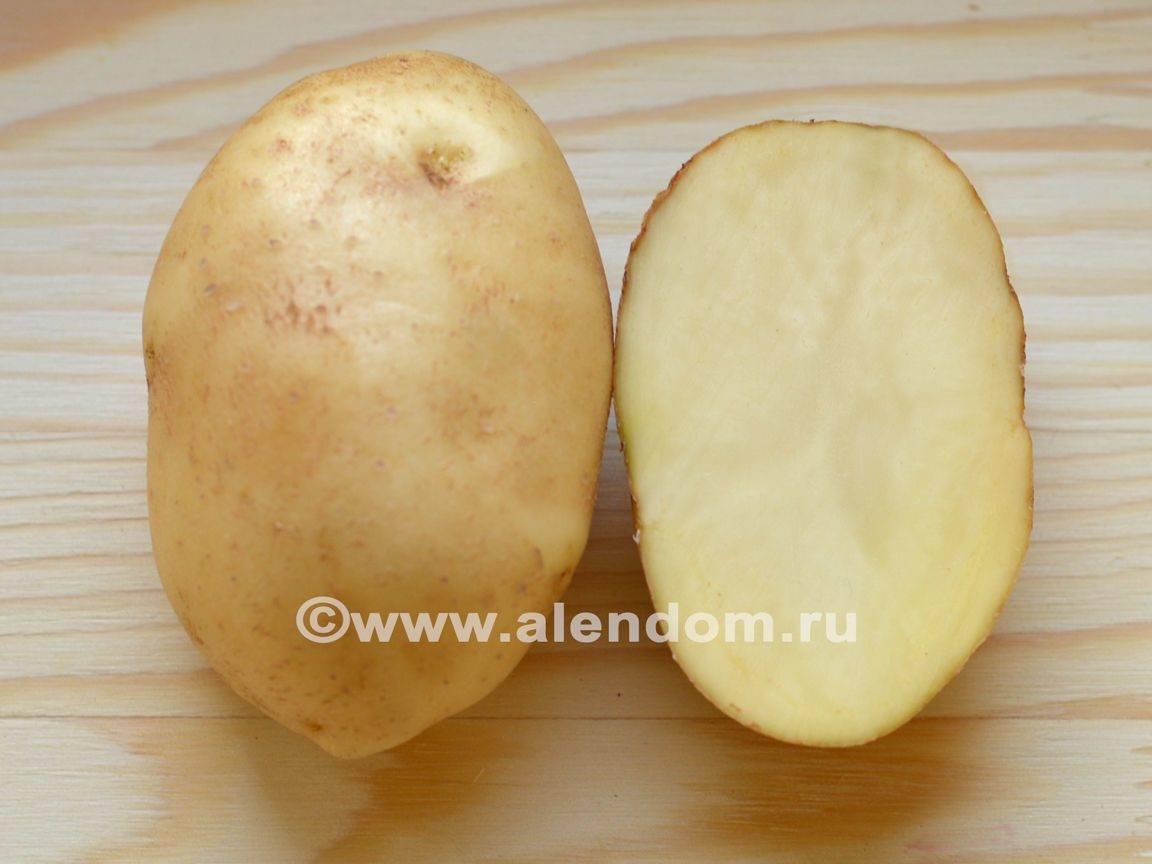 Картофель «удача»: описание сорта, характеристика, отзывы