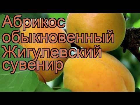 Описание и характеристика абрикоса шалах, родственники и выращивание