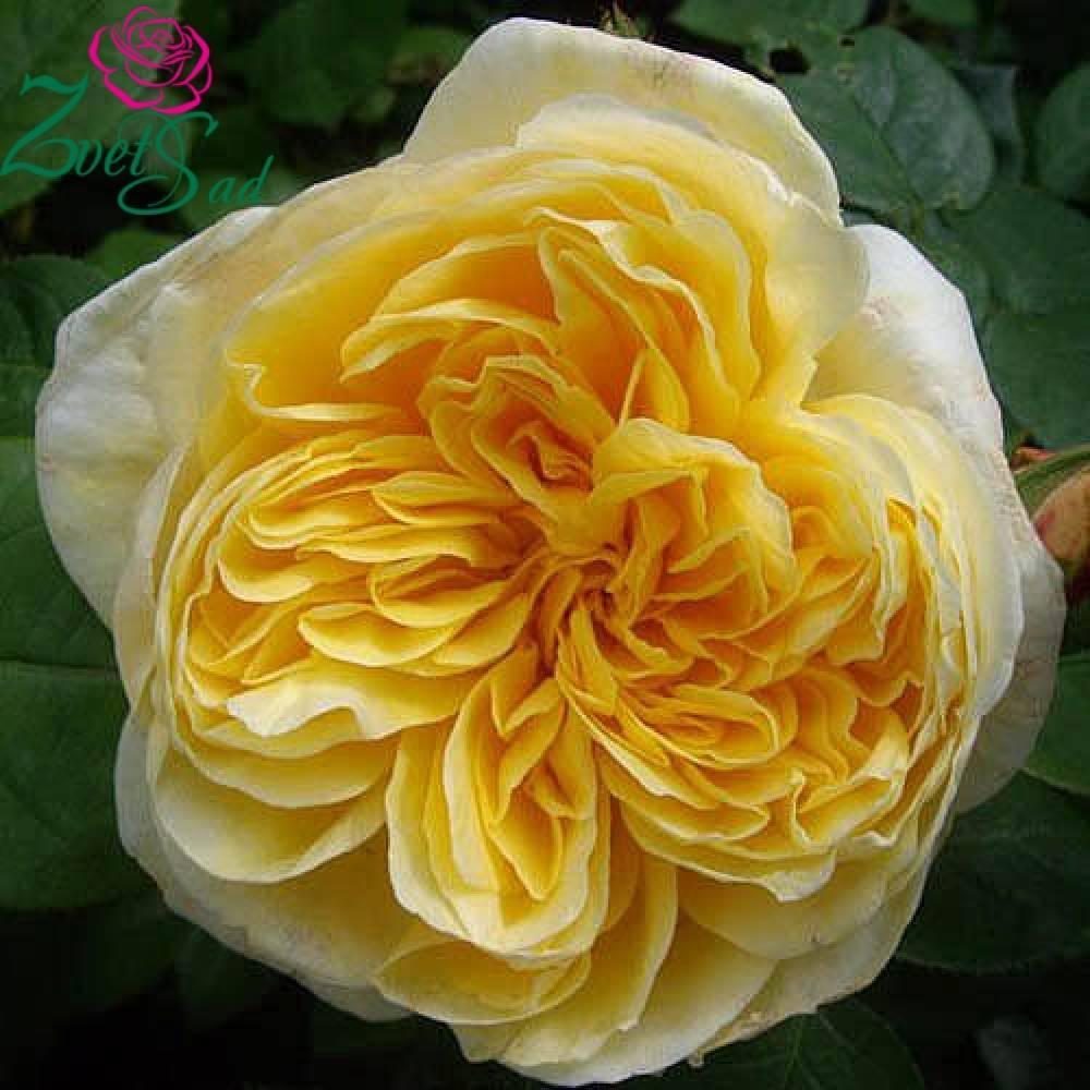 Роза английская шарлотта: особенности выращивания сорта на садовом участке