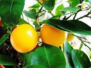 Выращивание апельсина из косточки в домашних условиях: миф или реальность?