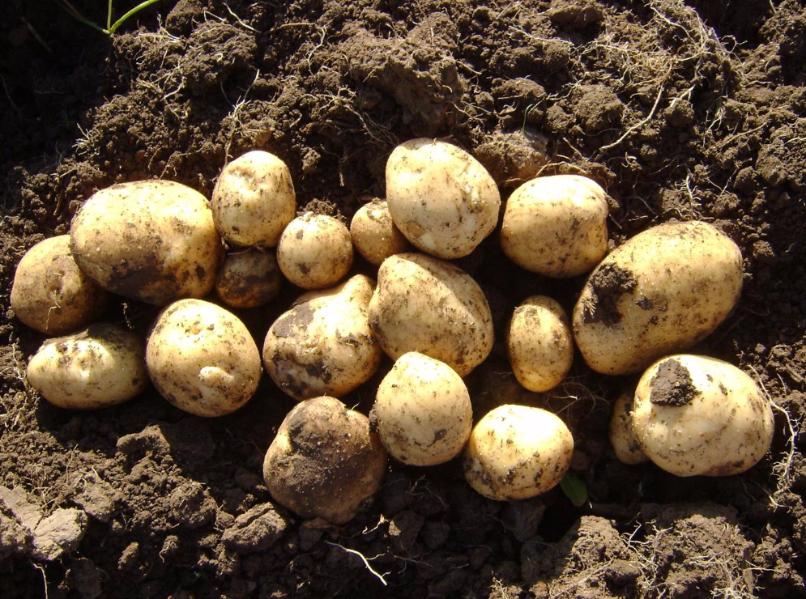 Сорт картофеля ласунок: описание и характеристика, отзывы