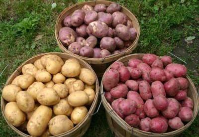 Картофель каменский: описание и характеристика, отзывы