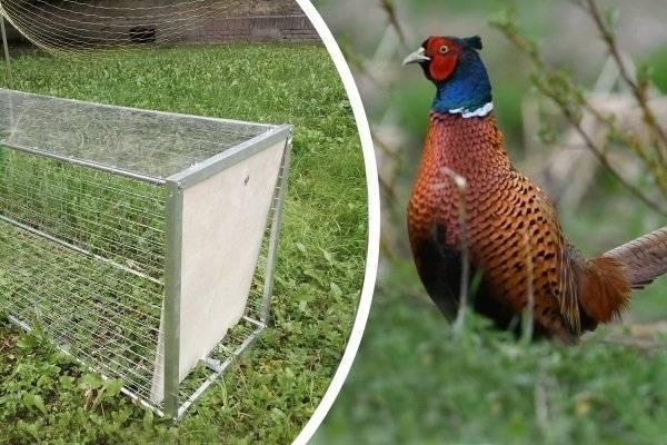 Ловля фазанов с применением снотворного. как поймать фазана, петля для зайца