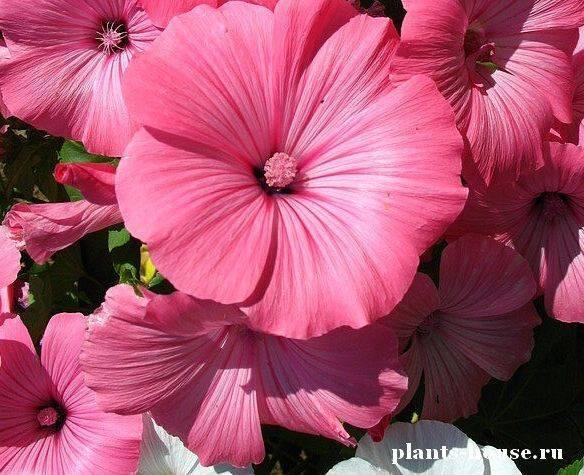 О садовых цветах однолетних: растения цветущие все лето, сорта для дачи