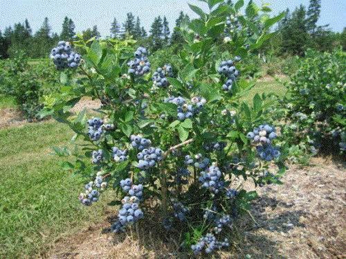 Как вырастить голубику: обзор эффективных агротехнических приемов