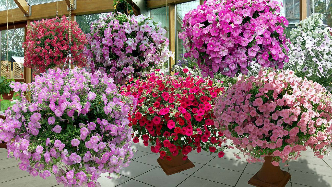 Уход за петунией во время цветения в горшках и вазонах: сколько составляет этот период и как его продлить, а также что делать, чтобы растение обильно давало бутоны?