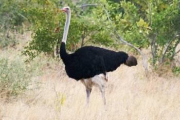 Страус эму — вторая в мире по величине нелетающая птица