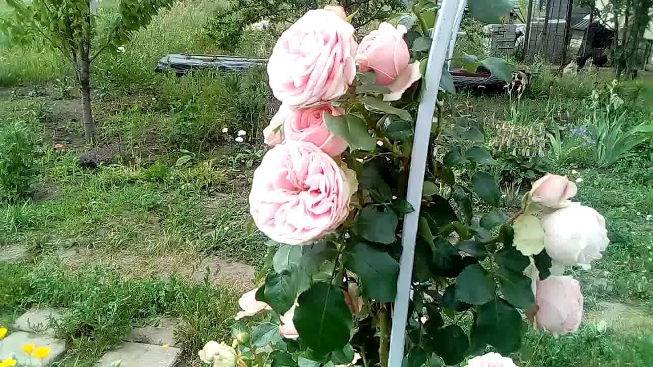 Сорта плетистых роз (68 фото): выбираем лучший сорт, особенности роз «метанойя», «джардина» и «жасмина», характеристика роз «голден парфюм», «наэма» и других