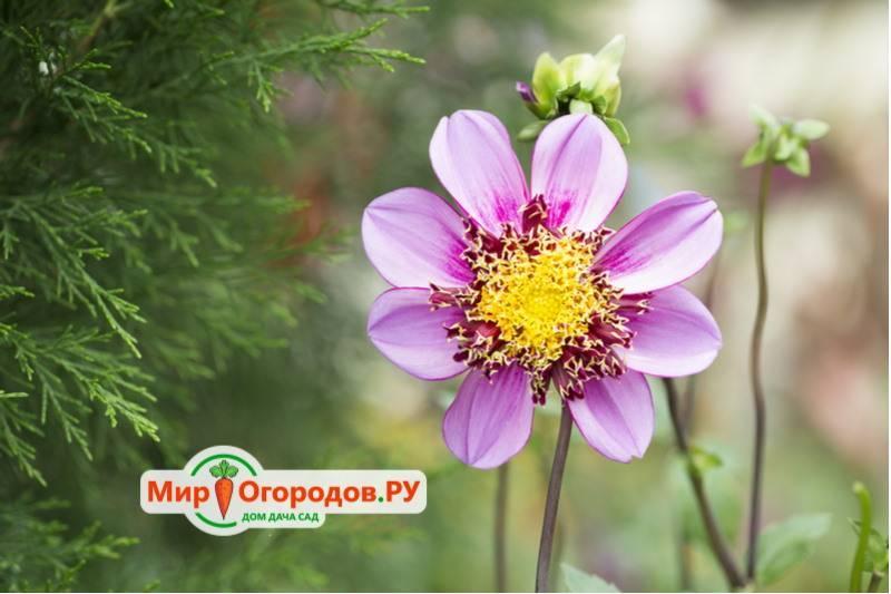 Сорта белых георгин и правила их выращивания