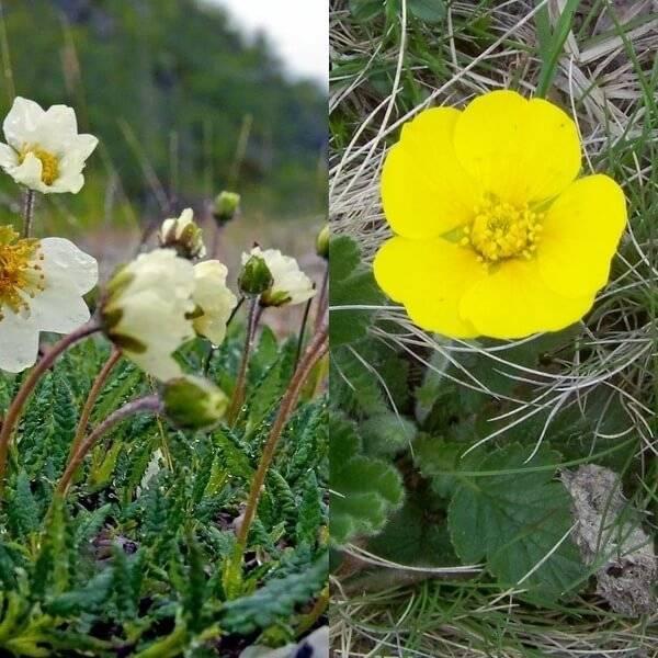 Гравилат многолетний - посадка осенью и выращивание, фото | сажаем сад
