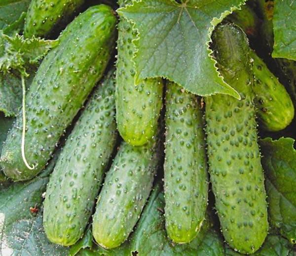 Огурцы для теплицы из поликарбоната — лучшие сорта для подмосковья