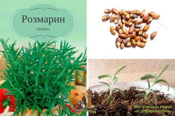 Розмарин: выращивание и уход, посадка и размножение