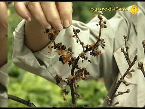 Методы борьбы весной с почковым клещом на смородине, чем обработать
