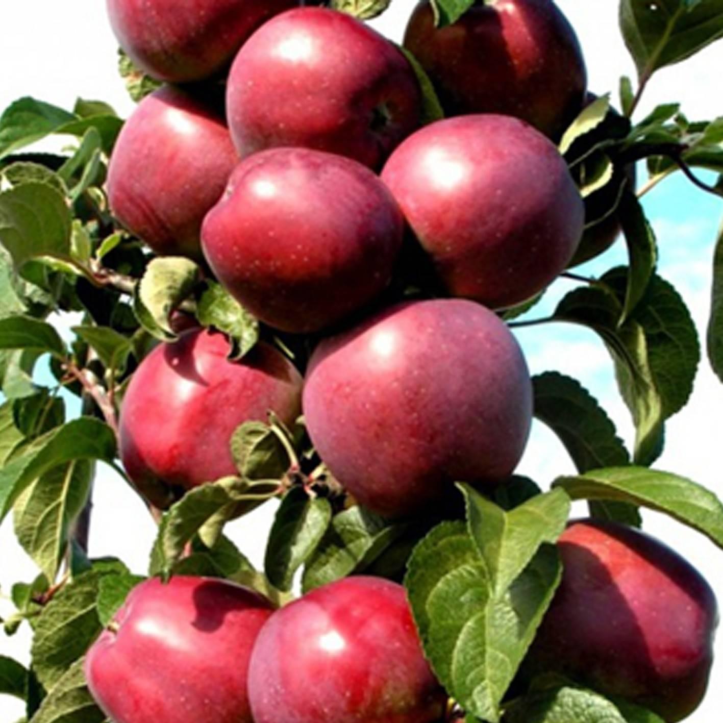 О яблоне колоновидной Червонец: описание и характеристики сорта, посадка и уход
