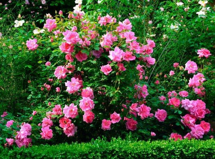 В каких случаях и почему не растут розы после посадки