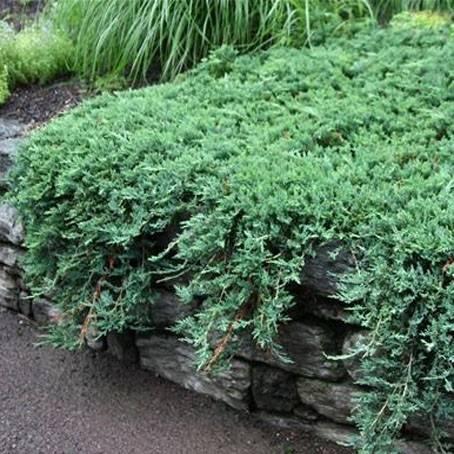 О можжевельнике Вилтони: описание сорта, как посадить и ухаживать