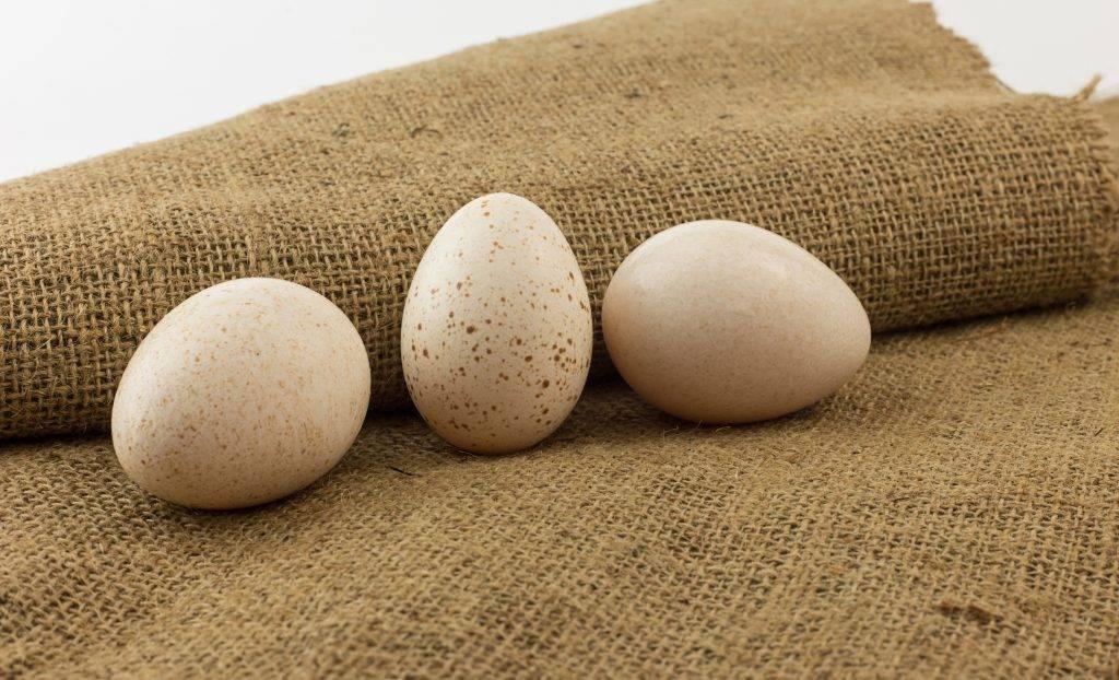 Технология инкубации яиц индейки в домашних условиях