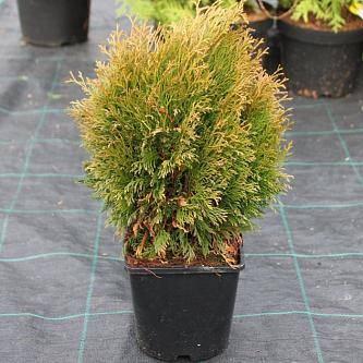 Туя западная даника (thuja occidentalis daniса)