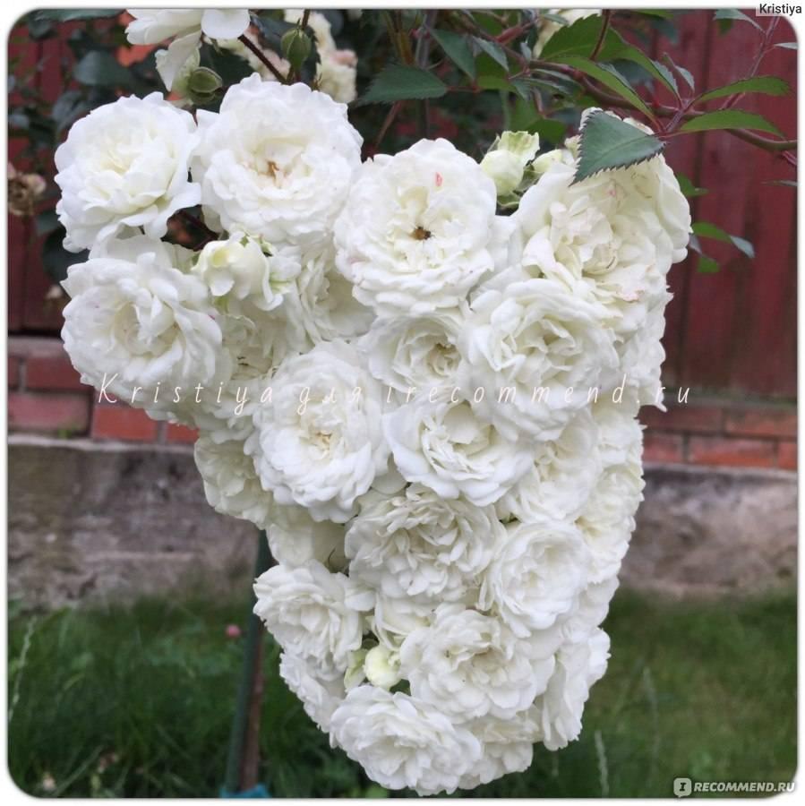 Морщинистая роза альба: особенности посадки и ухода
