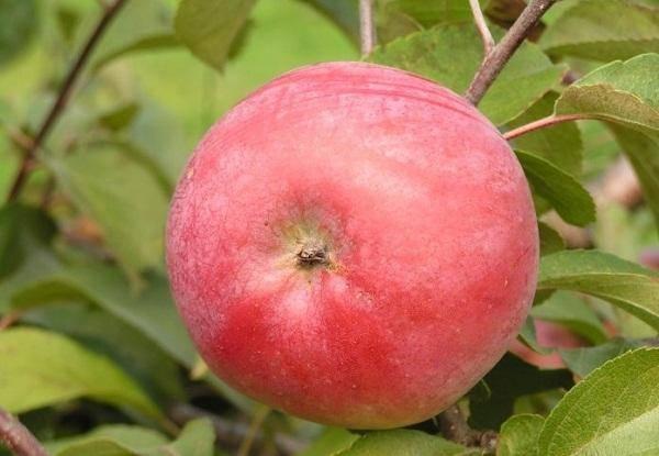 Особенности выращивания яблони сорта белорусское сладкое