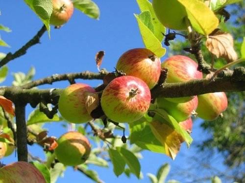 Эффективные меры борьбы с яблоневой плодожоркой