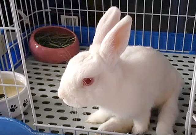 Почему у кроликов отнимаются задние лапы? - общая информация - 2020