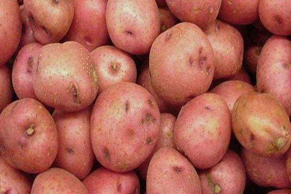 Сорт картофеля «рябинушка»: характеристика, описание, урожайность, отзывы и фото