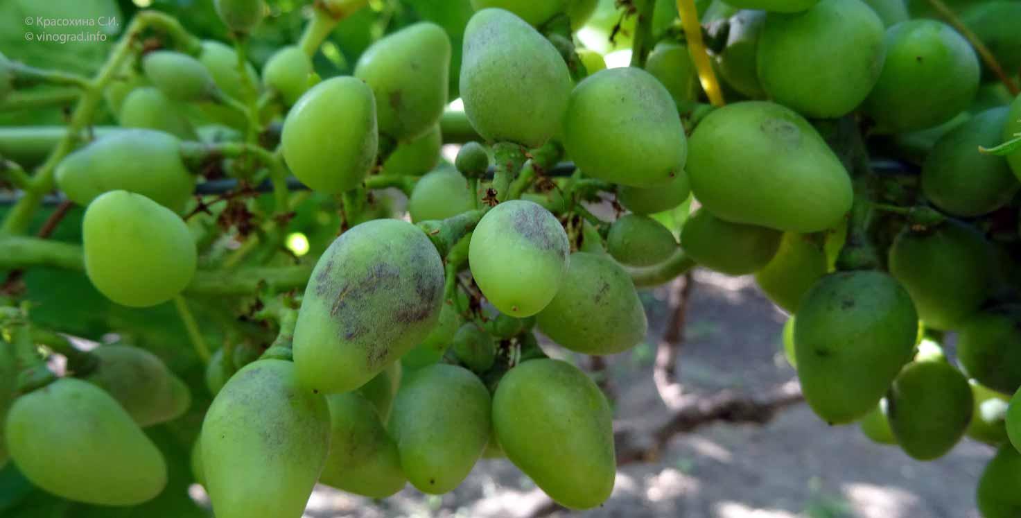 Болезнь оидиум: борьба и профилактика на винограде, фото и средства
