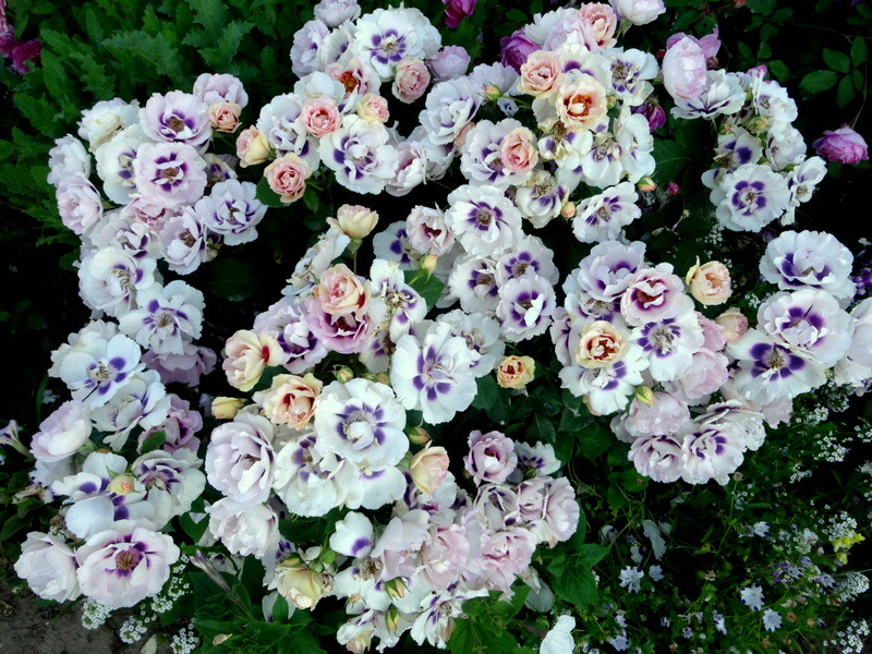 Самые обильно цветущие сорта :: энциклопедия роз