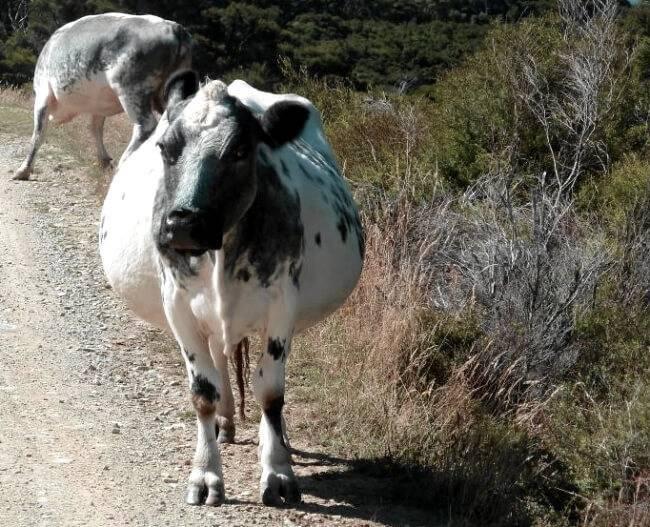 Правила и техники искусственного осеменения коров