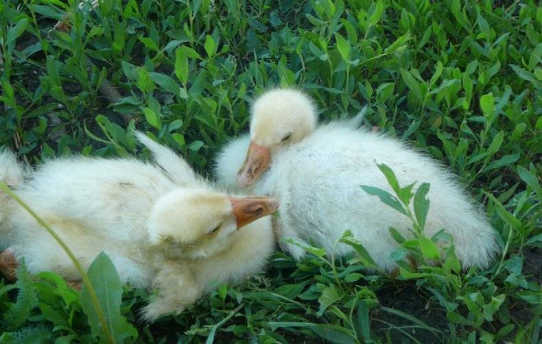 Почему гуси щиплют друг друга