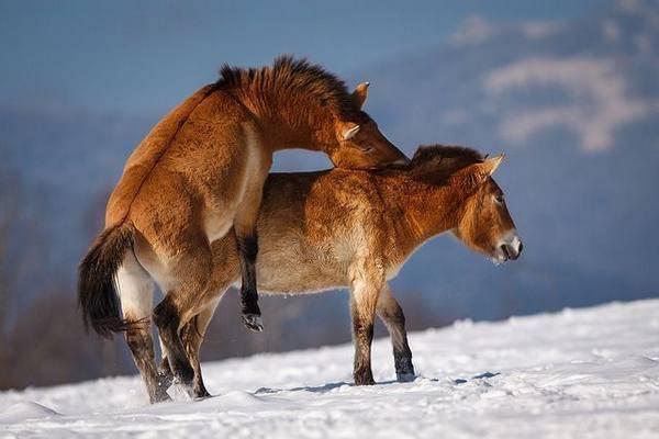 Размножение лошадей: от охоты до родов