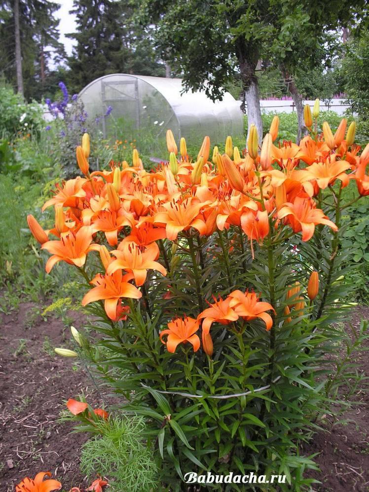 Когда выкапывать лилии. уход за лилиями садовыми после цветения