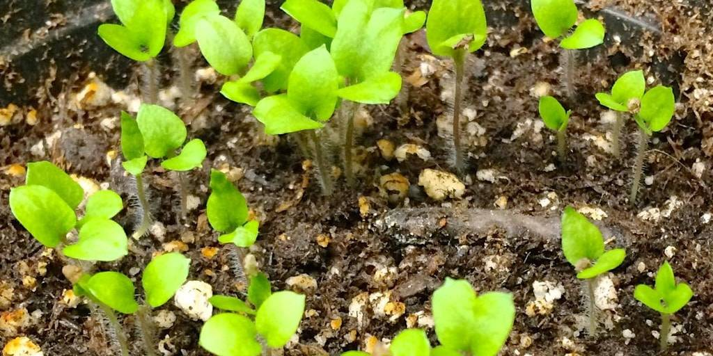 Как выращивать картофель?