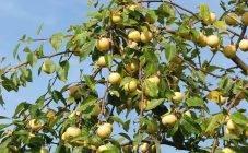 Чем обрабатывают яблоки для длительного хранения. чем обрабатывают яблоки?