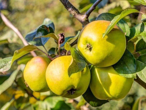 Подробная характеристика и особенности выращивания яблони сорта джонатан