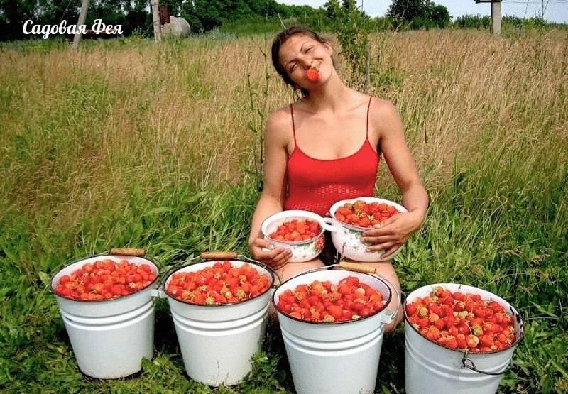 12 осенних удобрений для клубники, которые повысят урожайность и зимостойкость ягоды
