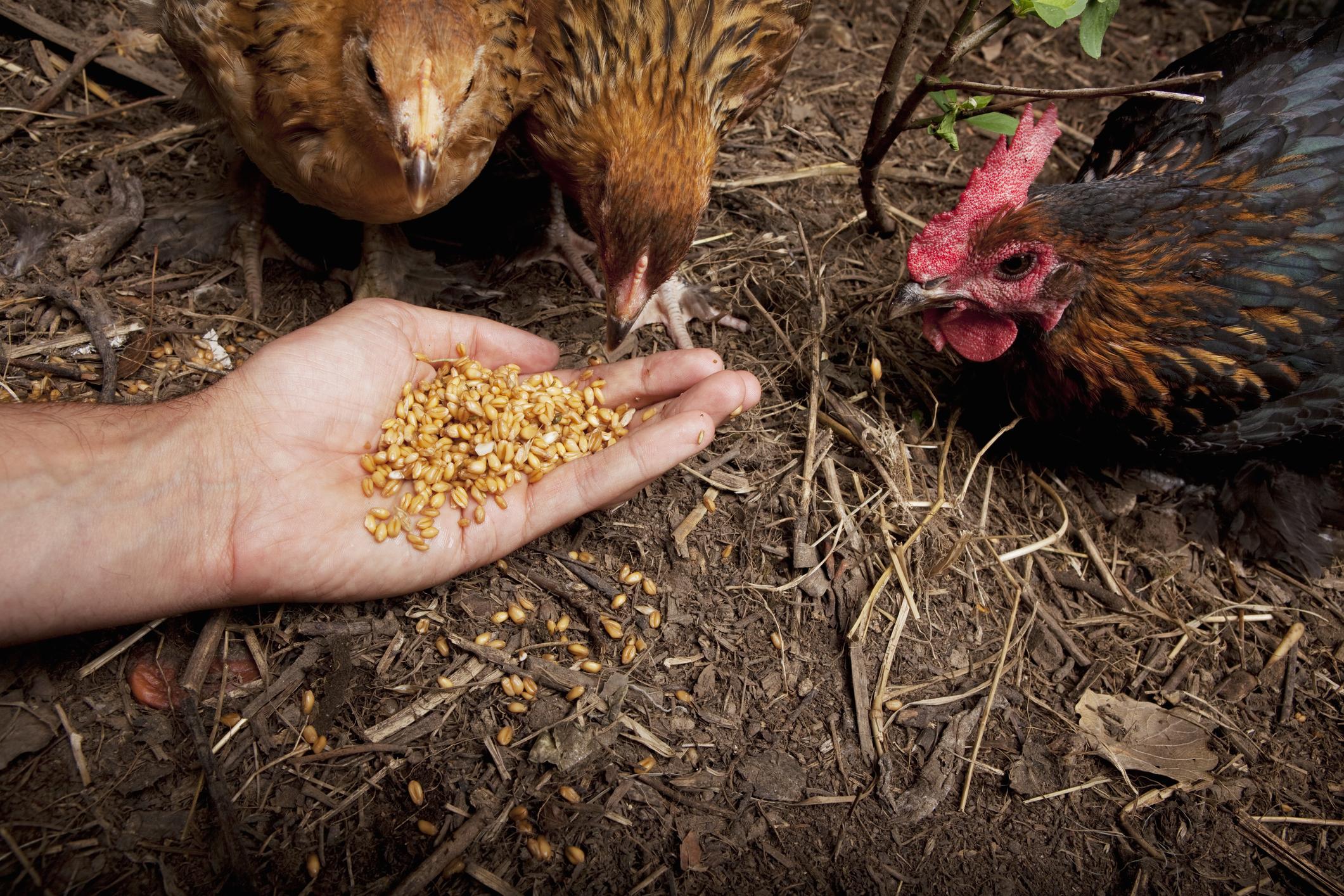Чем кормить кур несушек, чтобы лучше неслись - лучшая инструкция!