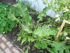 Овощ хрен: посадка и уход в открытом грунте, фото, выращивание из семян, виды и сорта