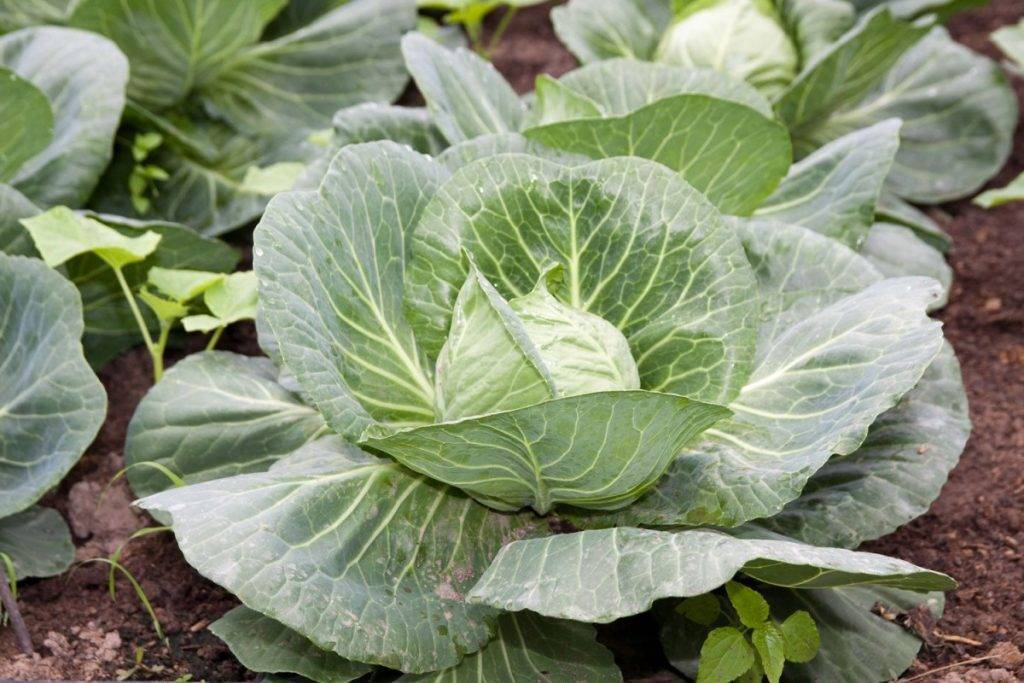 Что можно посадить после капусты на следующий год, а с какими растениями она «воюет»