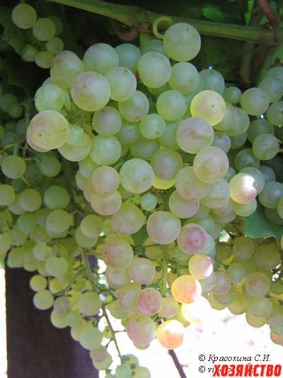 Виноград кодрянка, посадка и уход