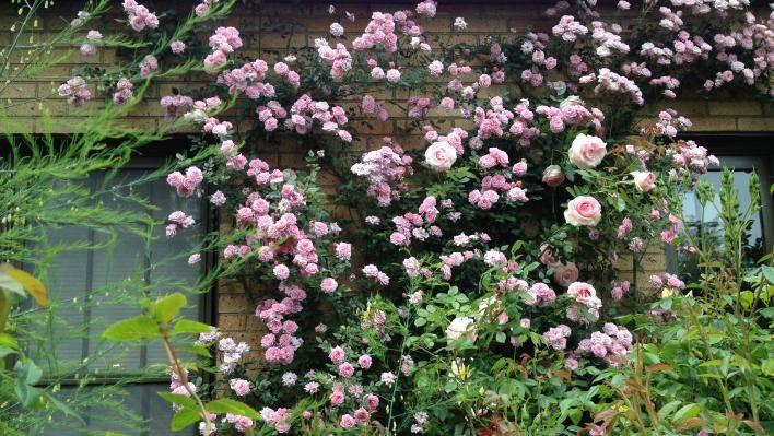 Как вырастить розу индиголетта