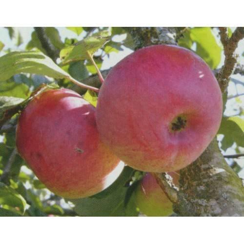 Ауксис – прихотливая яблоня с вкуснейшими плодами