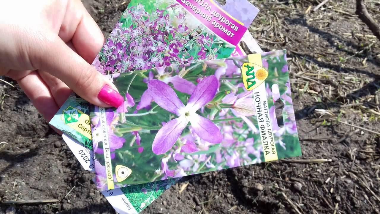 Маттиола: выращивание из семян когда и как сажать на рассаду