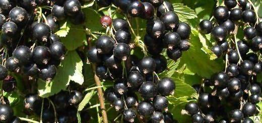 Чёрная смородина пигмей: уральская стойкость растения и южная нежность ягод