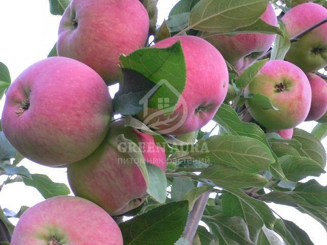 Особенности выращивания и уход за яблоней «мантет»