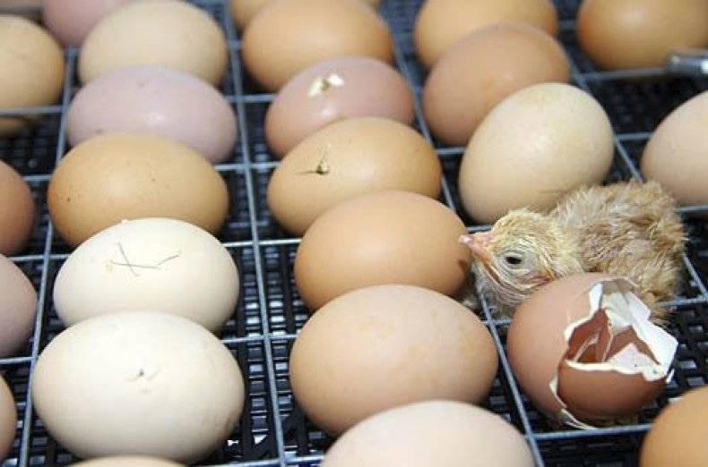 Чем кормить и поить суточных цыплят в домашних условиях после вылупления