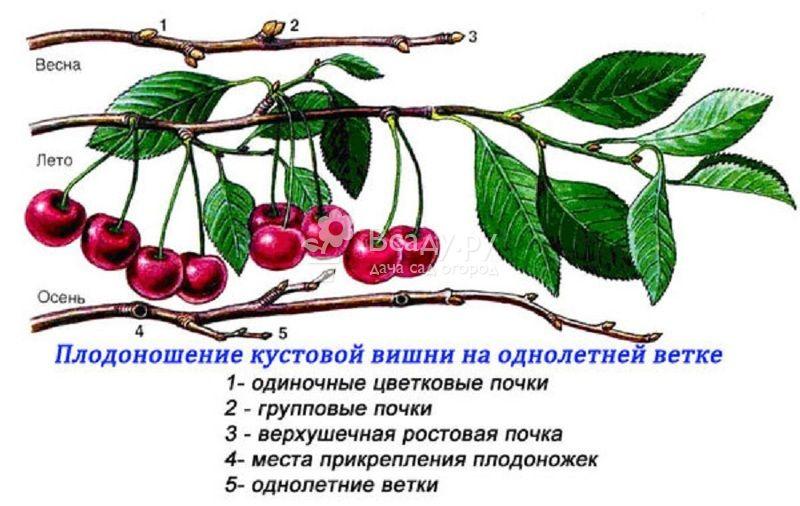 Уход за вишней — как выращивать и ухаживать за плодоносящим деревом. советы профессионалов и рекомендации опытных садоводов (видео + 135 фото)