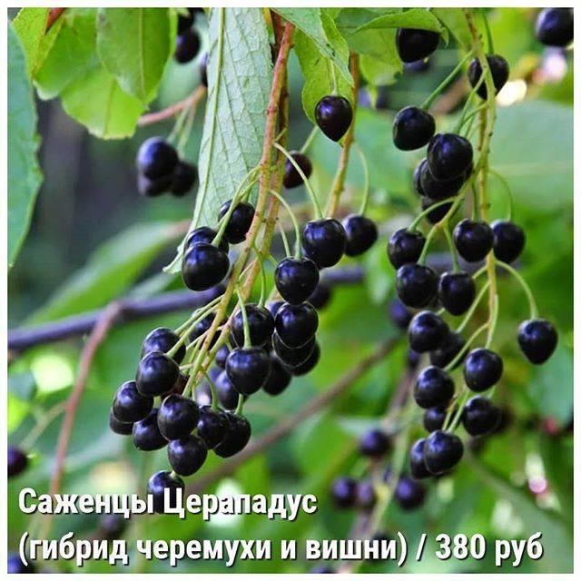 Гибриды вишни - отзывы садоводов и советы по выращиванию. жми!